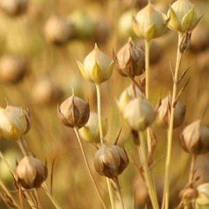 Використання клітковини з насіння льону