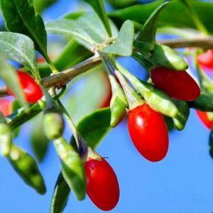Як потрібно приймати ягоди годжі для схуднення - користь і шкода ягід годжі