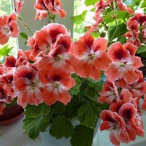 Лікувальні властивості звичного домашнього рослини - герані