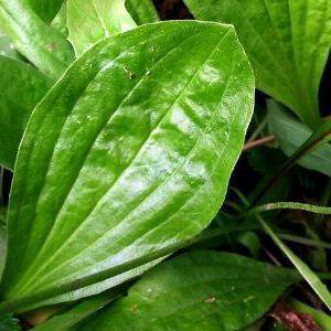 Лікувальні властивості насіння подорожника