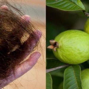 Листя гуави можуть 100% зупинити випадання волосся і сприяти їх шаленого зростання!
