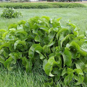 Листя хрону - єдині з рослин, здатні витягувати сіль через пори шкіри